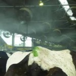 fans and misters - sprinklers operating keeping cows cool