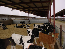 shade structure skillion roof open free stall dairy cattle barn