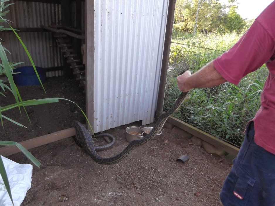 python-in-the-chook-shed-1