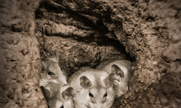 MICE ON THE MOVE – POTENTIAL FOR MOUSE PLAGUE CONDITIONS 2020 & 2021