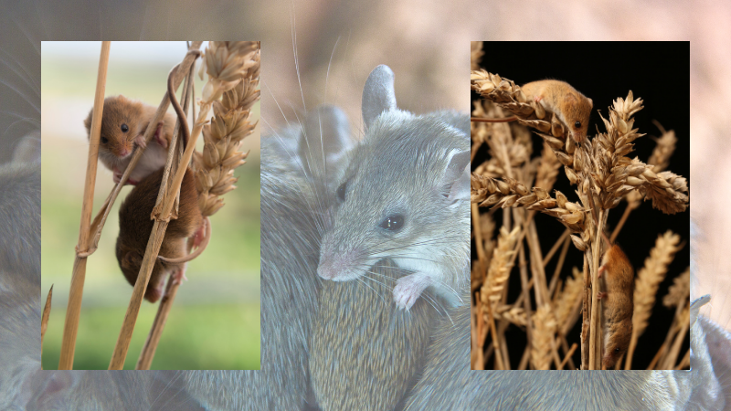 MICE ON THE MOVE - POTENTIAL FOR MOUSE PLAGUE CONDITIONS ...